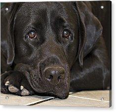 Labrador Retriever A1b Acrylic Print