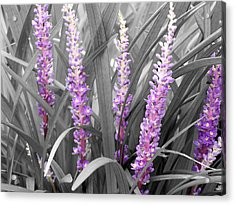 Liriope In Color Acrylic Print by Evelyn Patrick