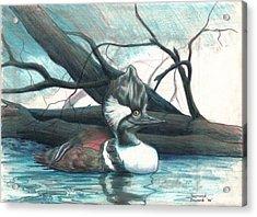 Acrylic Print featuring the drawing  Merganser Duck by Raymond Doward