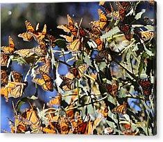 Monarch Cluster Acrylic Print
