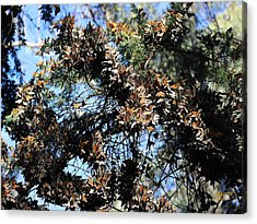 Monarch Large Cluster Acrylic Print