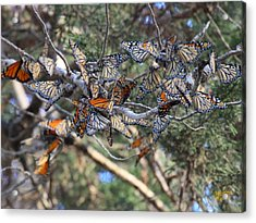 Monarch Mixed Cluster Acrylic Print