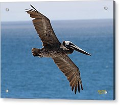 Pelican Flying Wings Outstretched Acrylic Print