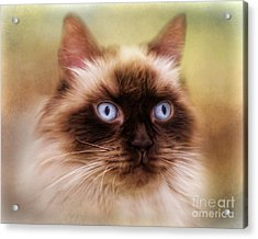 Acrylic Print featuring the digital art  Ragdoll Cat by Trudi Simmonds