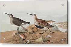 Red Backed Sandpiper Acrylic Print by John James Audubon