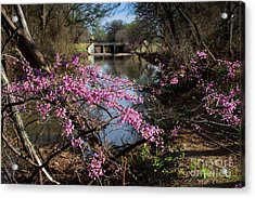 Redbuds And A Distant Bridge Acrylic Print