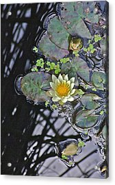 September White Water Lily Acrylic Print by Janis Nussbaum Senungetuk