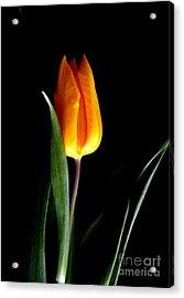 Tulip Fire Acrylic Print by Valia Bradshaw