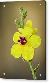 Verbascum Tripolitanum Acrylic Print by Yuri Peress