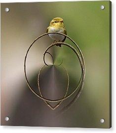 Wood Warbler Acrylic Print