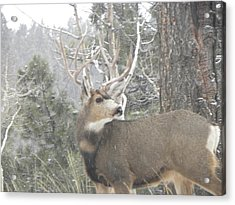 Buck Front Yard Divide Co Acrylic Print