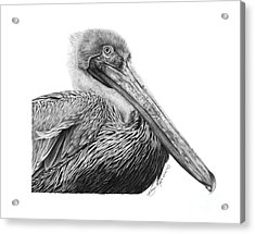 Acrylic Print featuring the drawing 047 - Sinbad The Pelican by Abbey Noelle
