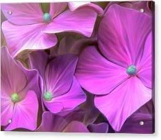 Hydrangea Florets Acrylic Print