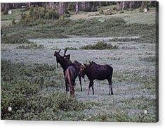 Moose Cameron Pass Co Acrylic Print