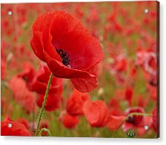 Red Poppies 3 Acrylic Print