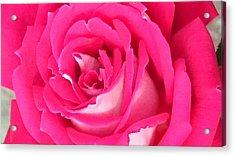 Bara Means Rose Acrylic Print