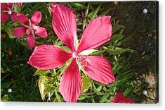 Hibiscus Coccineus Acrylic Print