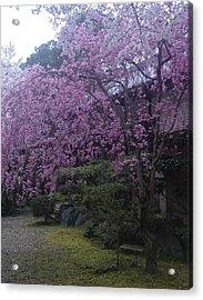 Shidarezakura Mean A Drooping Cherry Tree  Acrylic Print