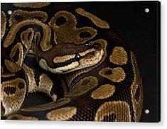 A Ball Python Python Regius Acrylic Print by Joel Sartore