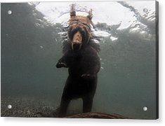 A Brown Bear Fishing For Salmon Acrylic Print by Randy Olson