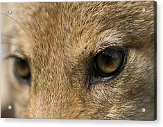 A Coyote At A Wildlife Rescue Members Acrylic Print by Joel Sartore