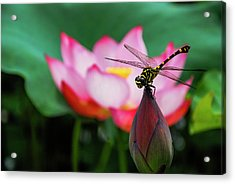 A Dragonfly On Lotus Flower Acrylic Print