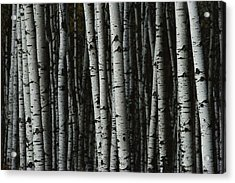 A Forest Of White Birch Trees Betula Acrylic Print by Medford Taylor