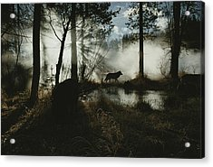 A Gray Wolf, Canis Lupus, In Silhouette Acrylic Print by Jim And Jamie Dutcher