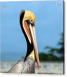 Acrylic Print featuring the photograph A Pelican Posing by Susan Wiedmann