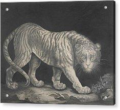 A Prowling Tiger Acrylic Print