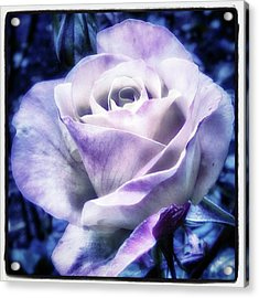 Acrylic Print featuring the photograph A Rose Is A Rose Is A Rose, Variation by Mr Photojimsf