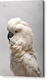 A Salmon-crested Cockatoo Acrylic Print by Joel Sartore