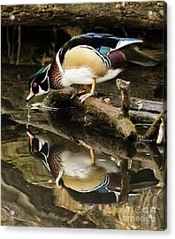 A Sip For You And Me Wildlife Art By Kaylyn Franks Acrylic Print