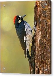 Acorn Woodpecker Acrylic Print by Doug Herr