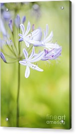 Adelaide Agapanthus  Acrylic Print by Neil Overy