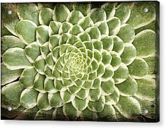 Acrylic Print featuring the photograph Aeonium Succulent  by Catherine Lau