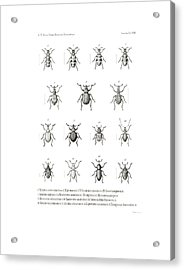 Acrylic Print featuring the drawing African Beetles by Bernhard Wienker