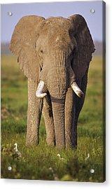 African Elephant Loxodonta Africana Acrylic Print by Gerry Ellis