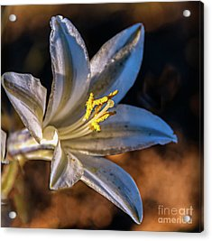 Acrylic Print featuring the photograph Ajo Lily by Robert Bales
