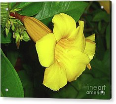 Alamanda Blossom Acrylic Print by Merton Allen