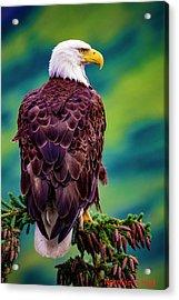 Alaska Bald Eagle Acrylic Print