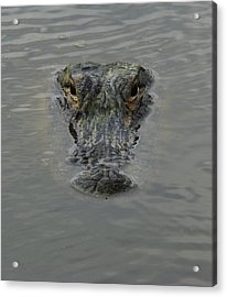 Alligator One Acrylic Print