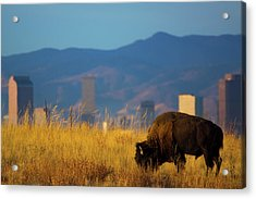 American Bison And Denver Skyline Acrylic Print