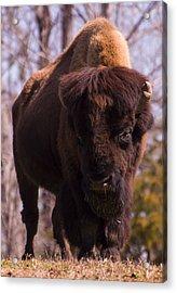 American Bison Acrylic Print by Chris Flees