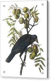 American Crow Acrylic Print by John James Audubon