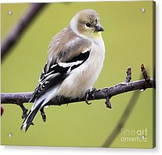 American Goldfinch Acrylic Print by Ricky L Jones