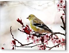 American Goldfinch In Spring Acrylic Print by Trina Ansel