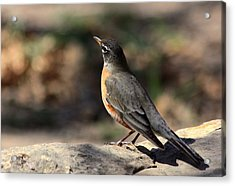 American Robin On Rock Acrylic Print