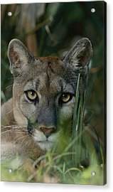 An Alleged Florida Panther. Owner Frank Acrylic Print by Michael Nichols