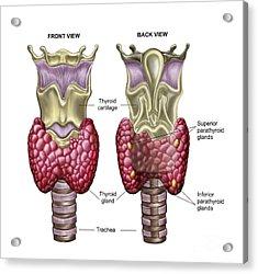 Anatomy Of Thyroid Gland With Larynx & Acrylic Print by Stocktrek Images